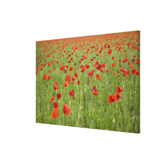 Red poppies blooming in field gallery wrap canvas