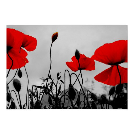 Red Poppies in the Field Poster Print