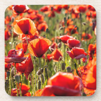 Red poppies on a canola field drink coasters
