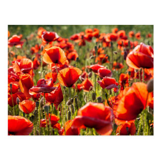 Red poppies on a canola field postcard