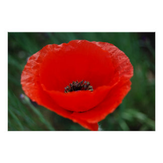 Red poppy and meaning posters
