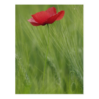 Red poppy flower among wheat crop, Tuscany, Postcard