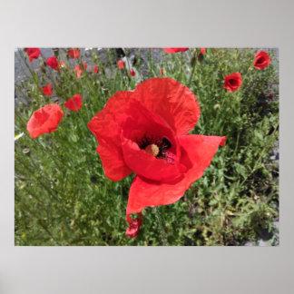 Red Poppy Flower Poster