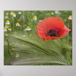 Red poppy flower, Tuscany, Italy Poster