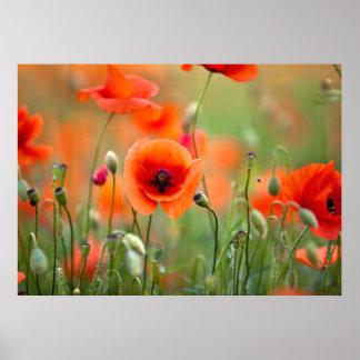 Red Poppy Flowers Poster