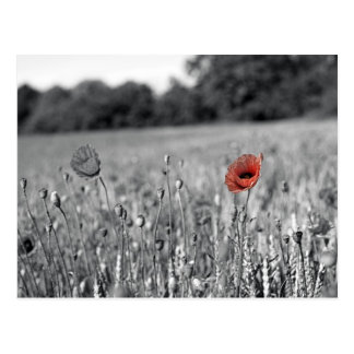 red poppy in a black and white field postcard
