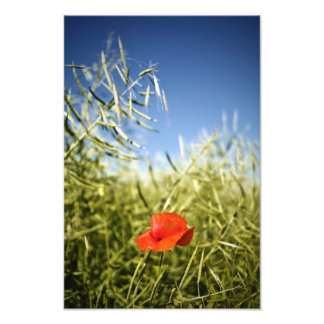Red poppy in a rape field art photo