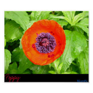 Red Poppy Posters