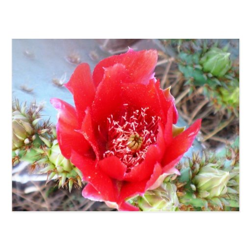 Red Prickly Pear Bloom Post Card