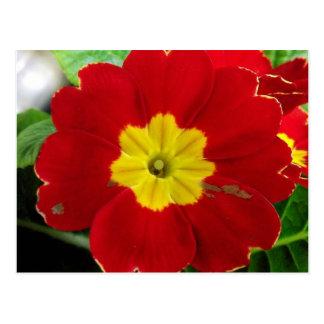 Red Primrose Postcard