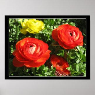 Red Ranunculus Flower Poster