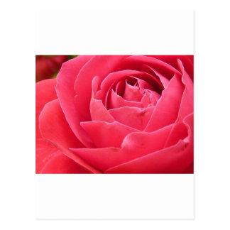 Red Rose Bloom Postcard