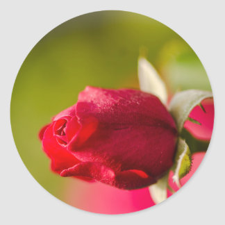 Red rose close up design classic round sticker