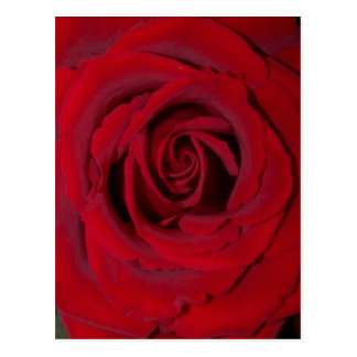 red rose close up postcard