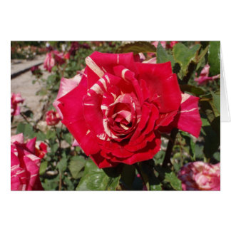 Red Rose With A Splash Of Cream Greeting Cards