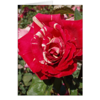 Red Rose With A Splash Of Cream Greeting Card