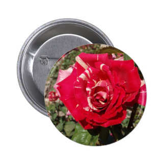 Red Rose With A Splash Of Cream Pinback Buttons