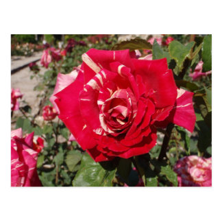 Red Rose With A Splash Of Cream Postcard