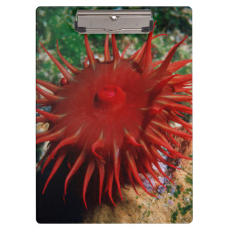 Red Sea Anemone In Pool Clipboard