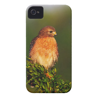 Red-shouldered Hawk (Buteo lineatus) in early iPhone 4 Case-Mate Case