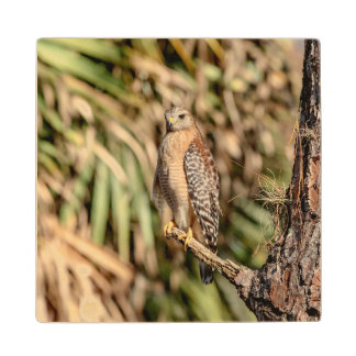 Red Shouldered Hawk in a tree Wood Coaster
