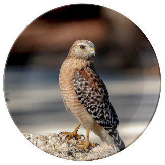 Red Shouldered Hawk on a rock Plate