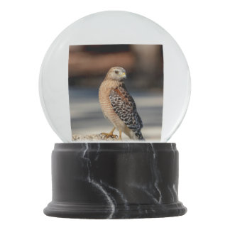 Red Shouldered Hawk on a rock Snow Globes