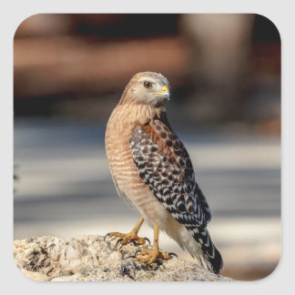 Red Shouldered Hawk on a rock Square Sticker