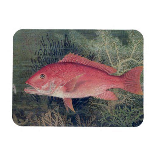 Red Snapper, from 'Game Fishes of the United State Rectangular Magnet