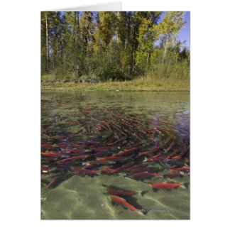 Red Sockeye salmon milling in calm eddy and Card