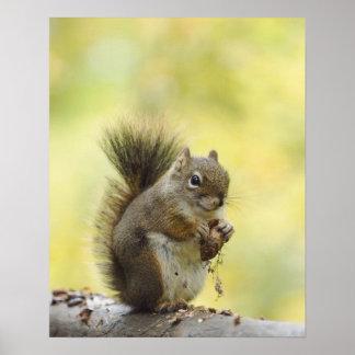 Red Squirrel, Pine Squirrel, Tamiasciurus Poster
