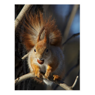 Red Squirrel with a Hazelnut Postcard