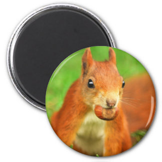 Red Squirrel with a nut Magnet