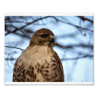 Red Tail Hawk 01 Photo