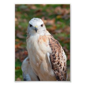 Red Tail Hawk Closeup Photo Art