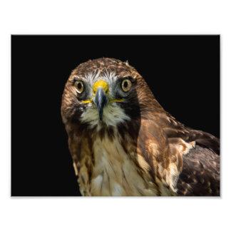 Red Tail Hawk Art Photo