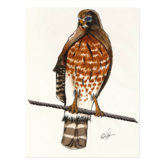 Red Tail Hawk Postcard