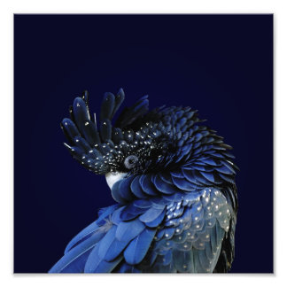 Red-Tailed Black Cockatoo in Blue Photo Print
