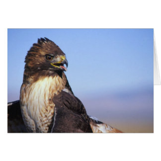Red-Tailed Hawk Card