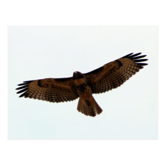 Red-tailed Hawk in flight, Humboldt County, CA Postcard