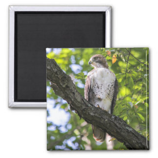 Red-tailed Hawk Square Magnet