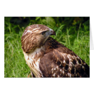 Red-tailed hawk note card