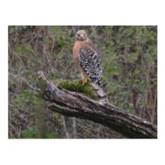 Red Tailed Hawk on Limb Postcard