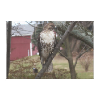 "Red-tailed Hawk on Tree Red Barn 60"" x 40"" Canvas Print"