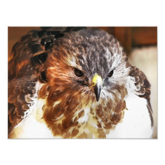 RED TAILED HAWK PHOTO