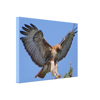Red-tailed Hawk Soft Landing Stretch Canvas Print