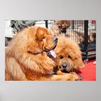 Red Tibetan Mastiff Poster