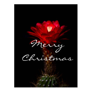 Red torch cactus flower, Merry Christmas Postcard