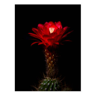 Red torch cactus flower postcard