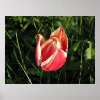 Red Tulip Art Poster